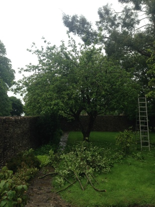 This little Apple Tree looked rather unloved!