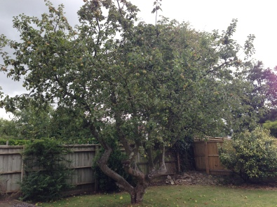This apple tree had become too large for the garden