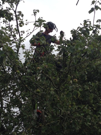 Josh busy reducing the height of an overgrown Apple Tree